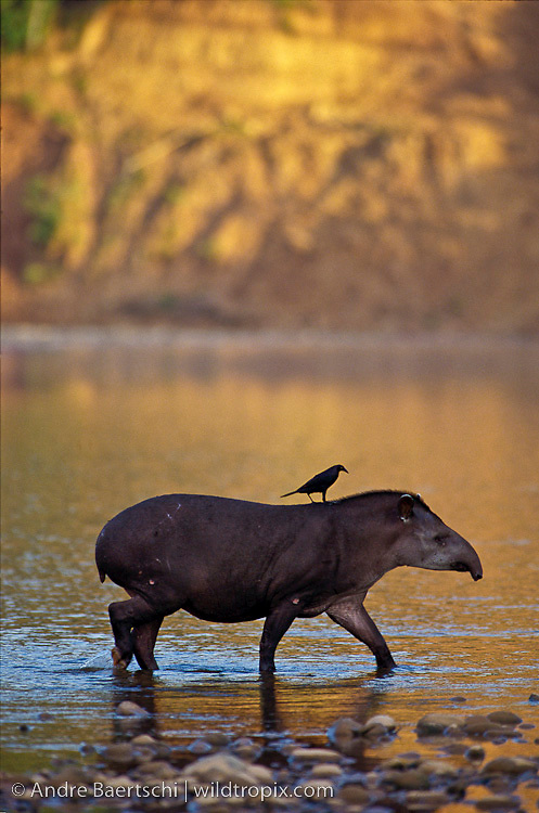 Brazilian Tapir (Tapirus terrestris) with Giant Cowbird (Molothrus oryzivorus) on its back, crossing the Rio Alto Madidi in early morning sunlight, lowland tropical rainforest, Madidi National Park, La Paz, Bolivia.