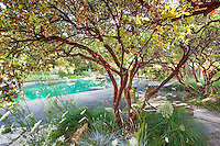 Well pruned manzanita (Arctostaphylos) shrubs with native grasses by swimming pool in The Melissa Garden, California