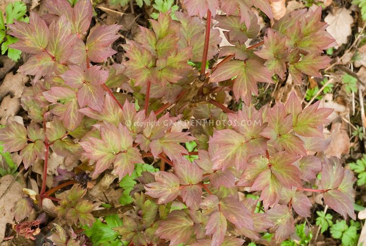 Paeonia suffruticosa 'Wu Long Peng Sheng' in new young growth spring color