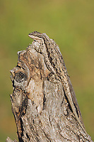 Tree Lizard, Urosaurus ornatus, adult on log camouflaged, Uvalde County, Hill Country, Texas, USA