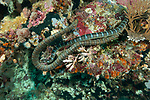 Serua Island, Banda Sea, Indonesia; a pair of olive sea snakes swimming over one another on the coral reef