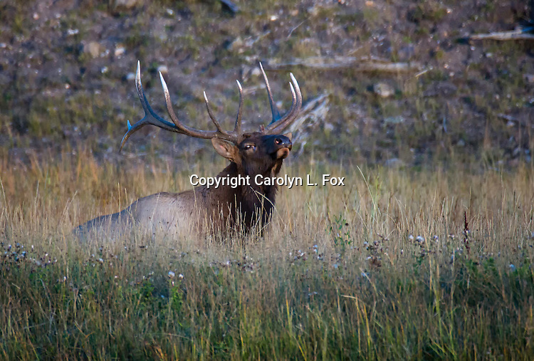 Elk are a frequent site in Yellowstone National Park, especially during the rut (mating) season.