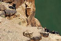 California Condors (Gymnogyps californianus)  resting on cliff above Colorado River near Marble Canyon, Grand Canyon National Park, Arizona.