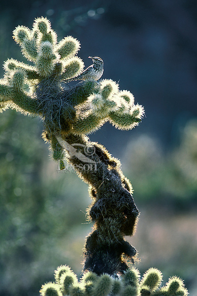 Cactus Wren (Campylorhynchus brunneicapillus) on cholla cactus, Sonoran Desert, Arizona.