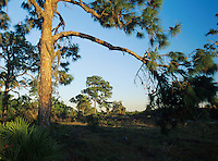 Pine trees at sunset, Oscar Scherer State Park, Florida, December 1998