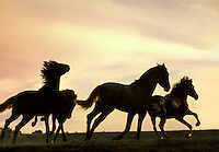 A group of Andalusan 2 year olds gallops across rise silhouetted by yellow sunset. horses, equine, animals. #447 Andalusian rise.