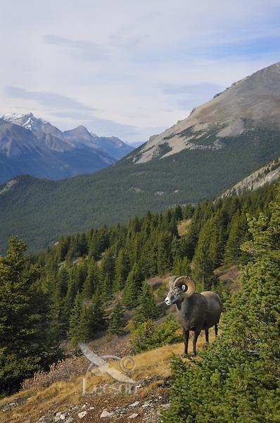 Bighorn Sheep Ram (Ovis canadensis).  Northern Rockies.  Fall.