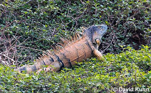 0625-1102  Male Green Iguana (Common Iguana), On River Bank in Belize, Iguana iguana  © David Kuhn/Dwight Kuhn Photography