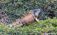 0625-1102  Male Green Iguana (Common Iguana), On River Bank in Belize, Iguana iguana  © David Kuhn/Dwight Kuhn Photography