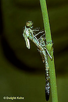 1O12-012z  Damselfly - adult emerging from nymph skin, spread-winged damselfly - Lestes spp.