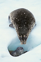 Harbor seal (Phoca vitulina) female with pup on tidewater glacieral ice,