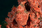 Pink painted frogfish (Antennarius pictus) on a pink sponge.