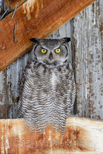 Adult female Great Horned Owl (Bubo virginianus) roosting in an abandoned barn. Idaho, USA. February.