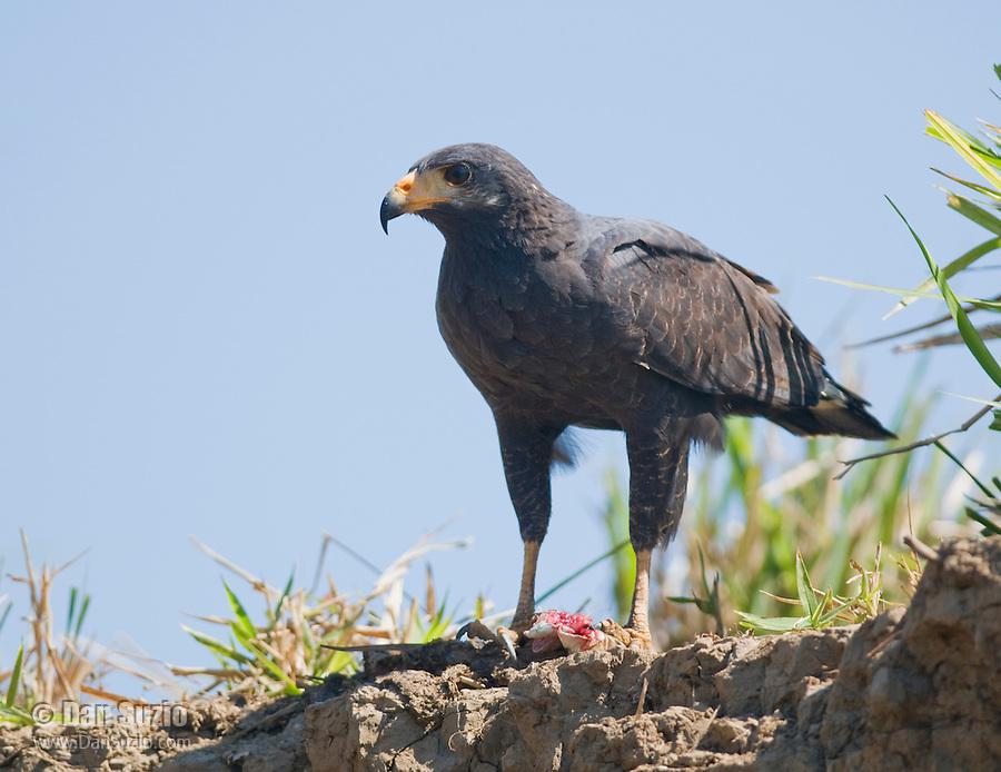 Common black hawk, Buteogallus anthracinus, standing over its prey, a large lizard. Tarcoles River, Costa Rica