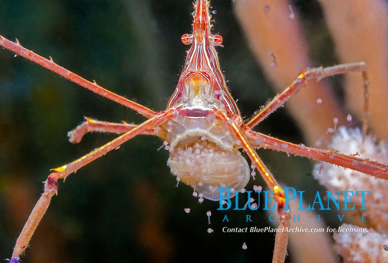 yellowline arrow crab, Stenothynchus seticornis, female, releasing eggs, Lake Worth Lagoon, Blue Heron Bridge, Riviera Beach, Florida, USA, Atlantic Ocean