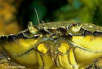 1Y34-010f  Green Crab - close-up of face - Carcinus maenus