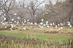 Columbia Ranch, Brazoria County, Damon, Texas; a flock of White ibis (Eudocimus albus) birds in flight above the shallow waters of the slough