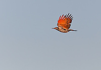 Red Shafted Northern flicker in flight with wings aloft