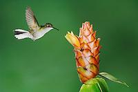 Black-bellied Hummingbird, Eupherusa nigriventris, female in flight feeding on Spiral Ginger (Costus Pulverulentus), Central Valley, Costa Rica, Central America, December 2006