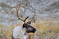 Woodland Caribou or forest-dwelling caribou (Rangifer tarandus caribou) bull.  British Columbia.  Fall.