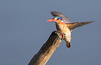 The Malachite kingfisher is one of the smallest, yet most colorful African kingfisher species.