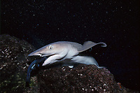 Whitetip Reef Shark, Triaenodon obesus, eats a surgeonfish, caught in coral bed, Cocos Island, Costa Rica - Pacific Ocean
