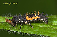 1C02-500z  Asian Ladybug Larva feeding on aphids, Harmonia axyridis