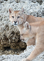 One of the puma families we saw included a mother with two seven-month-old cubs.  These are the cubs.