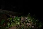 Small Indian Civet (Viverricula indica) near house at night, Colombo, Sri Lanka
