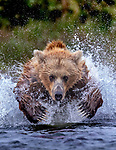 USA, Alaska, Katmai National Park, brown bear (Ursus arctos) leaping after salmon<br /> <br /> When you visit a location as often I have, you begin to recognize the 'locals', and I have a history with this bear. She's a young female I've photographed in years past, catching fish like none other. This year she had two cubs demanding her attention and was still the best. As the male bears splashed and thrashed at fish, she was like an efficient machine; feeding her cubs was her prime objective. I knew exactly what she would do and focused on her.