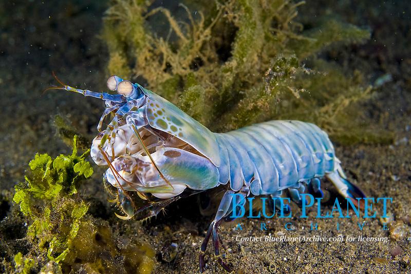 peacock mantis shrimp, Odontodactylus scyllarus, Lembeh Strait, North Sulawesi, Indonesia,