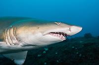 sand tiger shark, grey nurse shark, spotted ragged-tooth shark, Carcharias taurus, Aliwal Shoal, off Umkomaas, KwaZulu-Natal, South Africa, Indian Ocean