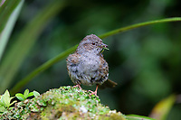 Dunnock (Prunella modularis occidentalis), adult foraging in Queens Park, Invercargill, Southland, New Zealand.