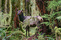 Roosevelt Elk (Cervus elaphus) cow in old growth forest, Olympic National Park Rainforest. WA.  Winter.