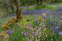 Wildflower meadow in the woods with grasses, rocks, ferns and flowering forbs: Plectritis congesta - Rosy Plectritis and Camass (Camassia quamash) - Camassia Nature Preserve, The Nature Conservancy protected park, Portland Oregon