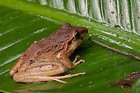 Rain Frog- probably Craugastor fitzingeri- Siquirres, Costa Rica.