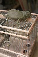Afrique/Afrique du Nord/Maroc/Fèz: Dans la médina de Fèz-El-Bali détail marché caméléon sur sa cage