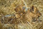 African lion cubs, Okavango, Botswana