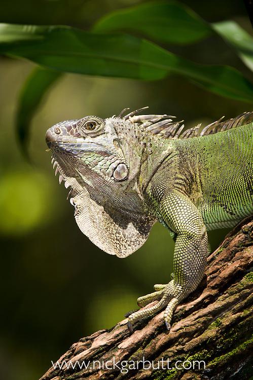 Common Green Iguana (Iguana iguana) along the Napo River, Amazon Basin, Ecuador, South America.