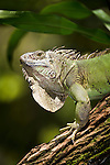 Common Green Iguana (Iguana iguana) along the Napo River, Amazon Basin, Ecuador, South America.