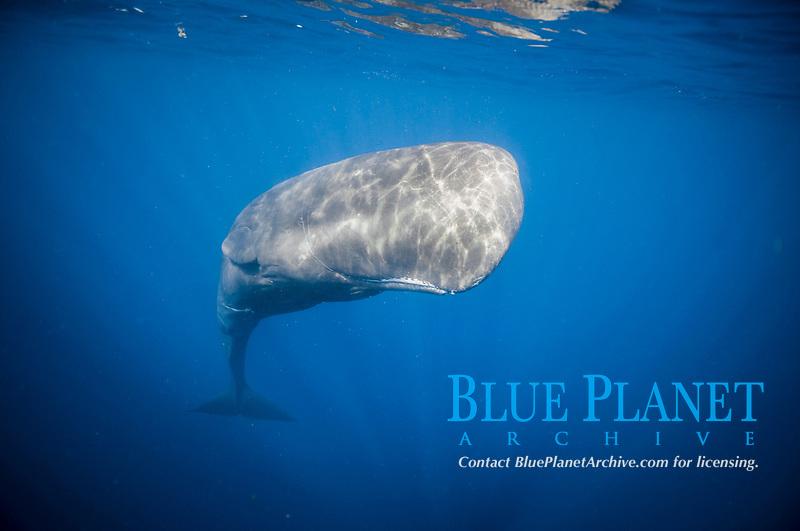 sperm whale, Physeter macrocephalus, entangled with ropes or fishing net, Dominica, Caribbean Sea, Atlantic Ocean