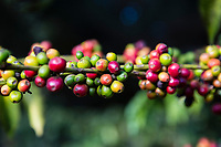 Tanzania, Karatu.  Coffee Berries (Cherries) Growing on Coffee Tree, Arabica Variety, Acacia Farm Lodge.