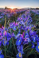 Dawn breaks over a field of blue irises, Mount Vernon, Skagit Valley, Skagit County, Washington, USA