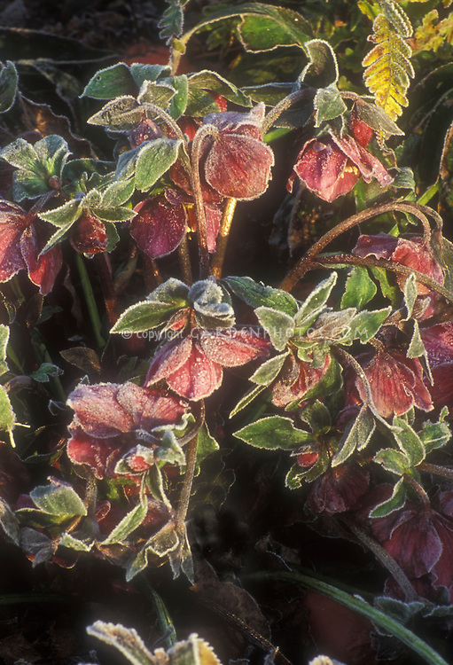 Helleborus orientalis Early Purple Group frosted . Rime on edges