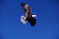 A Bald eagle (H. leucocephalus) in flight.