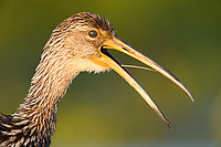 Limpkin (Aramus guarauna) calling showing nictitating membrane. Circle B Bar Reserve, Florida. March.