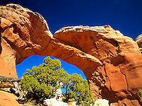 Art in Nature 9410-0297 - Broken Arch frames a Utah Juniper bush. High color contrast between earth tone of rock formation, bright green foliage and deep blue sky. Arches National Park, Utah.