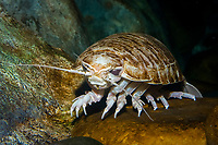 Giant Isopod (Bathynomus giganteus) (c) (do) A deep,cold water dwelling animal of the Arctic and Pacific Oceans (c)