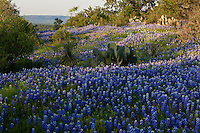 Twilight glows over a field of Texas Bluebonnets (Lupinus texensis)  in the Texas Hill Country, Llano County, Texas, USA
