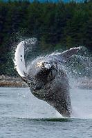 Breaching Humpback whale, Megaptera novaeangliae Southeast , Alaska